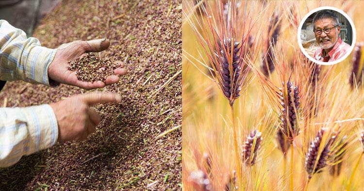 もち麦栽培風景と生産者さん