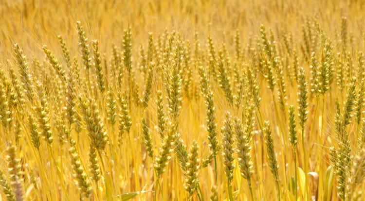 はだか麦の栽培風景